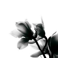 Preto E Branco Orquídea Flores - Foto gratuita no Pixabay Free Pictures, Free Images, Black Flowers, White Orchids, Photo Black, Flower Photos, Black And White Photography, Black And White, Calendar
