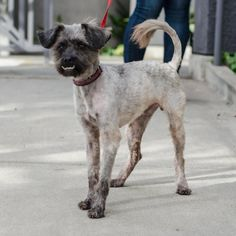 Noel is an adoptable Tibetan Terrier searching for a forever family near Los Angeles, CA. Use Petfinder to find adoptable pets in your area.