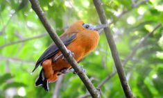 Птица – капуцин (Perissocephalus tricolor) — южноамериканский вид воробьинообразных из семейства котинговых (Cotingidae), выделяемый в монотипный род птиц-капуцинов (Perissocephalus).  обитают в субтропических и тропических низменных или горных влажных лесах (на высоте до 1400 м над уровнем моря, но большинство  ниже 600 м) крайнего востока Колумбии (восток Ваупеса), юга и востока Венесуэлы (юг Амасонас и восток Боливара), Гвианы и севера Амазонской низменности Бразилии. Длина тела — 34—35…