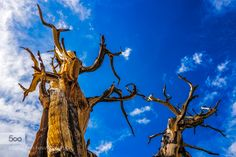 The Beauty of Dead Trees These dead Bristlecone pine trees still stand as monuments to their ancient pasts.  These trees were alive more than 4000 years ago...