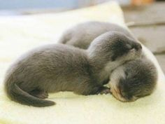 I love baby otters!