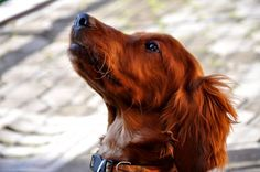 Irish setter Molly Malone, Red Dog, Poodle, Gin, Irish, Dogs, Animals, Irish Setter, Irish Language