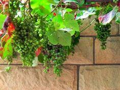 El cultivo de la vid no es muy complicado y con una espacio reducido no solo le dará uvas sino también un diseño original a su balcón o terraza.