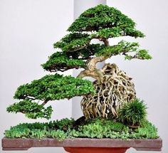 Image result for chicago botanic garden bonsai tree cling to rock climb