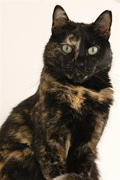 Meet+Spitz,+a+Petfinder+adoptable+Domestic+Short+Hair+Cat+|+Kanab,+UT+|+Looking+for+a+pal+you+can+truly+talk+to?+Spitz+will+hang+on+your+every+word,+and+then+offer+her+own...
