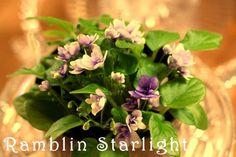 Saintpaulia 'Ramblin Starlight'
