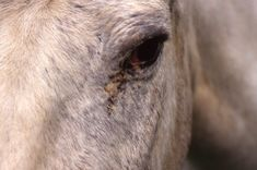 Eyeballing Conjunctivitis in Horses. Swelling and irritation in your horse's eye may be equine conjunctivitis. Here's everything you need to know about this bacterial infection.