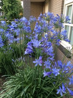Whether you want to plant for the first time or renovate your garden, consider getting some Agapanthus Peter Pan.There are many cool things about this beautiful flower that will probably entice you. 10 Amazing Facts Of Agapanthus Peter Pan - African Lily Landscaping With Rocks, Landscaping Plants, Front Yard Landscaping, Hydrangea Landscaping, Landscaping Ideas, Agapanthus In Pots, Small Gardens, Outdoor Gardens, Flower Garden Plans