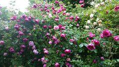 Roses shower  www.cadellerose.org