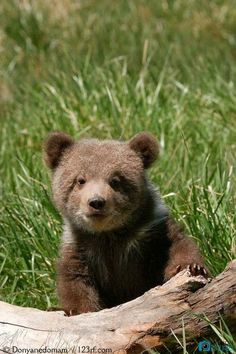Grizzly bear cub (Ursus arctos) sitting on the log in green grass Grizzly Bear Cub, Bear Cubs, Tiger Cubs, Tiger Tiger, Cute Baby Animals, Animals And Pets, Wild Animals, Wild Creatures, Cute Animal Photos