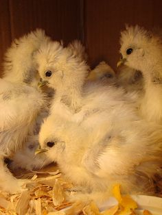 Silkie Chicks-I had some Silkies. They had feathers on their feet and black skin. They were my favorites.