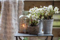 Pflanzen Sie drei bis vier Christrosen in eine große Schale. Die Lücken werden mit Blumenerde aufgefüllt und mit Moos abgedeckt