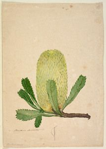 Banksia serrata. Botanical sketches of Australian plants, 1803-1806 / John Lewin.  Find more detailed information about this at: http://acms.sl.nsw.gov.au/item/itemDetailPaged.aspx?itemID=431242.  From the collections of the Mitchell Library, State Library of New South Wales  http://www.sl.nsw.gov.au/events/exhibitions/2012/lewin/index.html