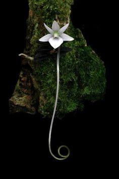 Angraecum urschianum -- wow <3