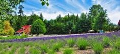 Photo of Purple Haze