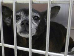 SAFE---2nd Chances Rescue --- #A4892966  My name is Chiquito and I'm an approximately 6 year old male chihuahua sh. I am not yet neutered. I have been at the Carson Animal Care Center since November 1, 2015. I am available on November 1, 2015.Carson Shelter, Gardena, CA