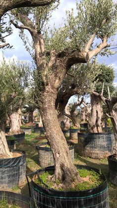Olive up to two hundred years