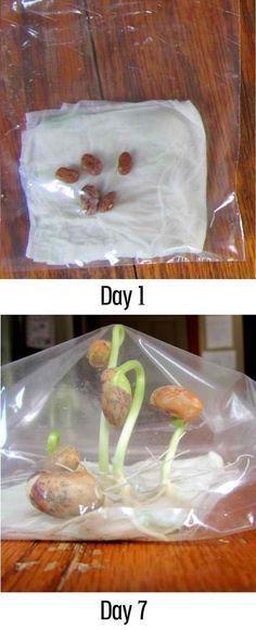 Plantando feijão
