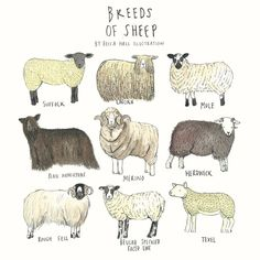 A lovely illustration of different breeds of Sheep. Perfect for a living room, kitchen or Childs bedroom! Dimensions: 30 x digital print. Breeds Of Cows, Sheep Breeds, Farm Animals, Cute Animals, Sheep Illustration, Sheep Shearing, Sheep Art, Animal Science, Sheep And Lamb