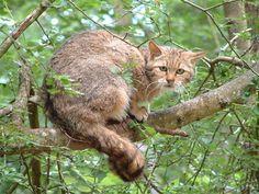 European Cat Photos