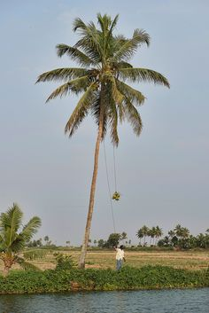 https://flic.kr/p/efTgsD | man picking coconuts in the backwaters of Kerala, India | man picking coconuts in the backwaters of Kerala, India
