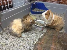Guinea pig Bill and Uni