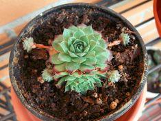 Tato rostlinka je ještě léčivější než slavná Aloe Vera: Jediný list vyléčí zánět ucha, rýmu i kuří oko! - Příroda je lék