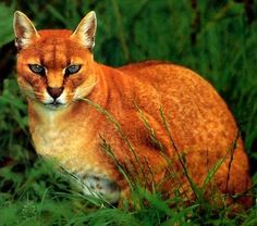 African Golden Cat due to its extremely reclusive habits very little is know about the African Golden Cat.
