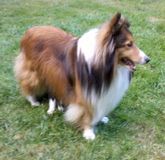 Shelties love their families, but may be reserved at first with strangers. As a herding dog, they can be inclined to bark at and herd people. Shelties thrive on the farm, but adapt to many living situations if given proper exercise. The breed's dense double coat requires regular maintenance.