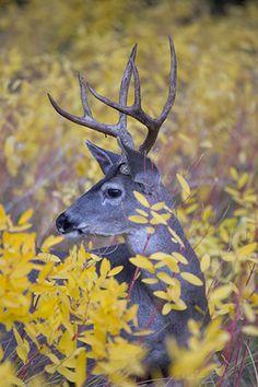 Mule Deer buck in Autumn Yosemite Valley, Yosemite n. Mule Deer Buck, Mule Deer Hunting, Photography Gallery, Animal Photography, Monster Hunt, Deer Family, Yosemite Valley, Oh Deer, Animal Kingdom