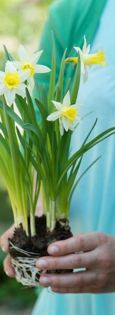 Daffodils can be associated with Spring Beautiful Flowers, Spring Blossom, Spring Garden, Flowers, Daffodil Day, Garden, Daffodils, Plants, Herbs