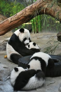 Giant panda triplet cubs reunited with mum Ju Xiao in China, in pictures - Telegraph