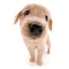 Artlist Collection THE DOG Golden Retriever