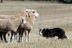 Border Collie herding sheep.