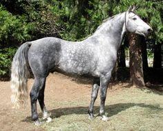 Morgan Colors- Gray Morgan Horses  RDKs Knight Hawk 2003 stallion