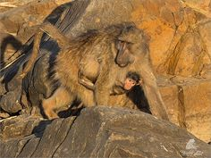 Hold on! by Ursula Celliers - Wildlife Photography on YouPic Baboon, Ursula, Wildlife Photography, Hold On, Elephant, Animals, Animales, Animaux, Naruto Sad