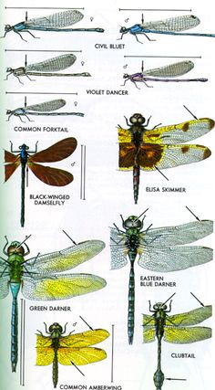 Order Odonata, Damselflies & Dragonflies ~ At rest, damselflies hold their wings together above the body or diverging; dragonflies hold them horizontal. #naturalist #entomology
