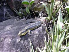 Fauna, Free Image, Free Photo, Bluetongue, Lizard, Stone, Sun