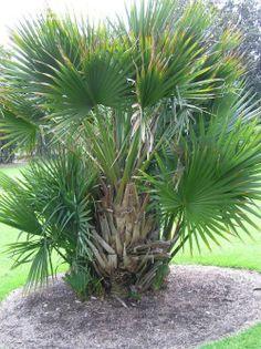 Dwarf Palm (Phoenix roebelenii)