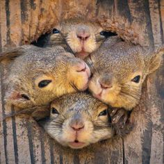 It's a squirrel squeeze! Rodents try to poke through tree hole Cute Creatures, Beautiful Creatures, Animals Beautiful, Cute Funny Animals, Cute Baby Animals, Nature Animals, Animals And Pets, Photo Animaliere, Cute Squirrel