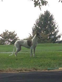 #LOSTDOG 11-16-13 #BELAIR #MD MARYLAND GOLF AND COUNTRY CLUB ON STARMOUNT LN SCOT'S FANCY SUBDIVISION #GREYHOUND WHITE W/BRINDLE  BLACK EARS 732-693-8546 https://www.facebook.com/photo.php?fbid=10200854817360263&set=o.190937040917117&type=1
