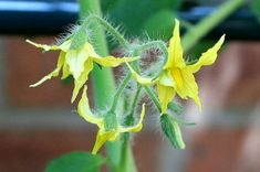 Help Pollinate Your Tomato Plants. Everybody needs a little help sometimes... http://www.vegetablegardener.com/item/8433/help-pollinate-your-tomato-plants