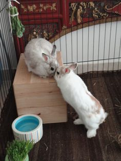 Romeo and Juliet Bunnies Act Out the Balcony Scene - December 1, 2012