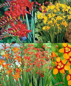 ooh I may need some of these-- we planted some last year and they are gorgeous!     Take a look at the Crocosmia Bulb - Set of 30 on #zulily today!