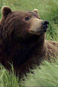 **Bear, brown