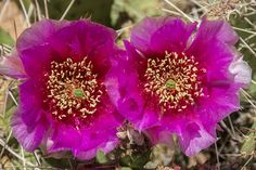 Twin Prickly Pear Blossoms, Canyonlands National Park, Utah (pinned by haw-creek.com)