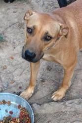 Zoe (PP) is an adoptable Boxer Dog in Hudson, NH. Zoe was found and taken in by a good Samaritan, very pregnant and in desperate need of food and shelter. Fortunately, they called our rescue and we h...