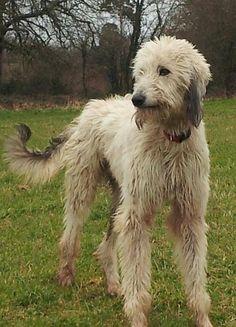 Lurcher Rescue Dogs For Adoption