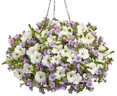 Hanging Basket 'Highland Grove' featuring: Petunia 'Supertunia White', Calibrachoa 'Superbells Miss Lilac' and Fan Flower 'Whirlwind White'