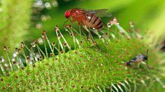 Les feuilles des Drosera sont couvertes d'une substance visqueuse qui fait penser à la rosée du matin. Elle attire les insectes et les colle à la feuille, qui se referme très lentement pour pousser la proie vers son centre et la digérer.